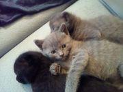 Scottish fold BKH-EKH Kitten