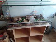 Kornnatter auch mit Terrarium 100x50x50cm