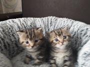 Bkh Kitten zuverkaufen