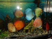 7 Diskusfische