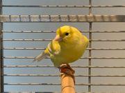 Kanarienvogel Harzer Edelroller Weibchen