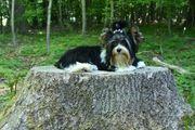 Süße kleine Yorkshire Terrier Biewer