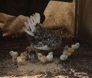 Hühnerglucke mit Küken