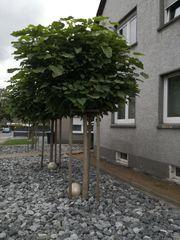 3 Trompetenbäume Hochstamm Bäume Kugeltrompetenbaum