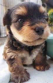 Zuckersüße reinrassige Yorkshire Terrier Yorki