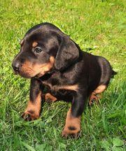 Hundewelpen in liebevoll Hände abzugeben