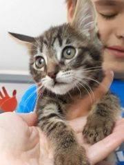 Siam Maine coon mix Kater