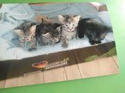 Katzenkinder abzugeben