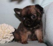 Chihuahua- und Minichihuahua-Welpen aus seriöser