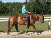 Schöner Quarter Horse Wallach