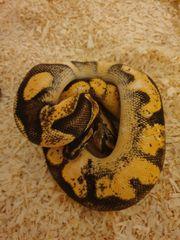 königspython enchi calico dh Albino