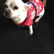 Deckrüde Blanco 4 Jahre Chihuahua