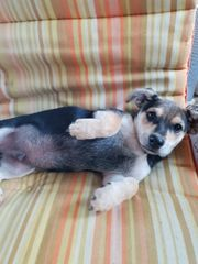 jack Russel Mix Welpe