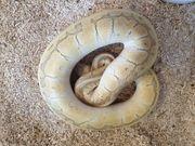 königspython kingpin pastel Yellowbelly het