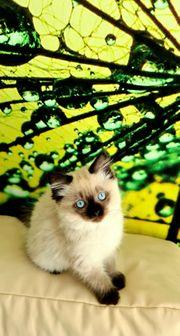 BKH BLH Kitten mit blauen
