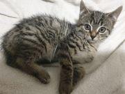 Katzenbaby Babykatze 9 Wochen