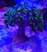 meerwssser Korallen Ableger Becken Auflösung