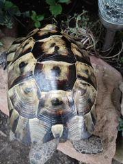 Maurisches Landschildkröten Männchen von 2007