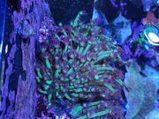 Meerwasser Goniopora Koralle