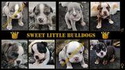 Englische Bulldogge - Welpen - Shrinkabulls