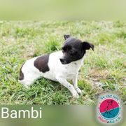Bambi- unsere kleine Chihuaha Mix