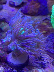 Meerwasser Duncanopsammia axifuga