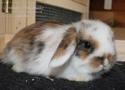 Reine Mini Lop Kaninchen UK