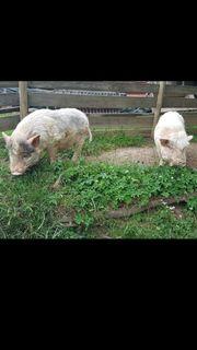 Mini schweine kastriert
