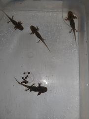 Axolotl Nachzuchten