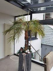 Palme phoenix roebelenii