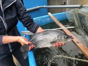 Streifenbarsche Striped Bass ca 50
