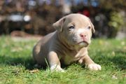 American Bully Welpen lilac und