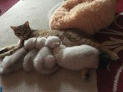 BKH kitten Silver