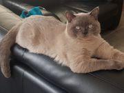 Welpen Kitten Katzenbabys BKH