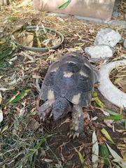 Breitrandschildkröte - Marginata - männlich