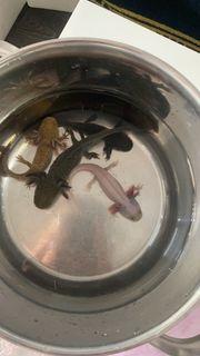 Vier Axolotl suchen ein neues