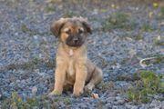 Dogos - kleiner Welpe Mischlingsrüde sucht