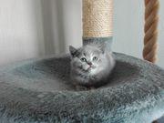 BKH Kitten Katzenbabys Britisch Kurz