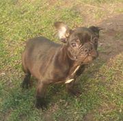 Französische Bulldoggen Welpen angabebereit