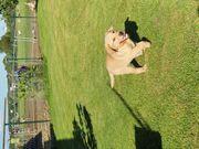 Labrador Welpen mit Ahnentafel männlich