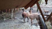 Guanakos Lamma Mufflons zu verkaufen