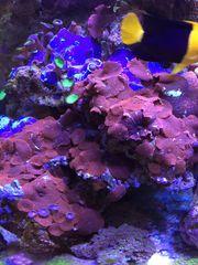 Meerwasser Korallen Scheibenanemonen rot blau