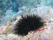 Meerwasser - schwarze Seeigel - perfekte Algenfresser