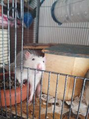 3 Ratten Mänchen