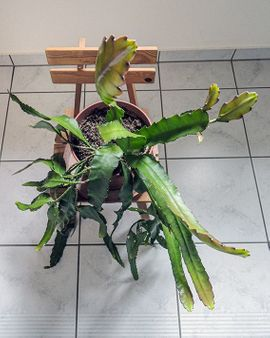 großer roter Blattkaktus Epiphyllum Kaktus: Kleinanzeigen aus Lustenau - Rubrik Pflanzen