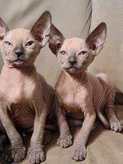 Don Sphynx kitten Mit Stammbaum