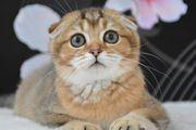 Wunderschöne reinrassige Scottish-Fold-Kitten