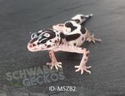Leopardgeckos Mack Snow Zorro Bandit