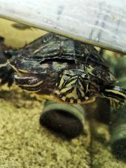 Schildkröte zu verschenken