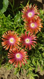 1 rotorange-lila-weiße Mittagsblume Delosperma Auret